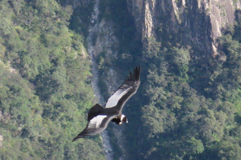 Chonta Condor Spotting (Day Trip)